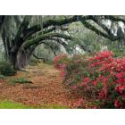 Azaleas_And_Live_Oaks_Magnolia_Plantation_Charleston_South_Carolina.jpg
