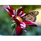 desktop-achtergrond-natuur-vlinder-bloem.jpg