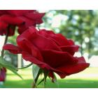red-rose-graphic-rose-wallpaper.jpg